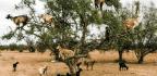 Do Tree-Climbing Goats Help Plant New Trees?