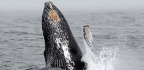 Why Whales Are Back in New York City