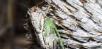 7 Facts About Cicadas, Which Are 'Tiny Violins'