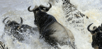This River Ecosystem Hinges on Thousands of Drowned, Rotting Wildebeest