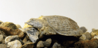 Cholera Hitches A Ride On The Backs Of Soft-Shell Turtles
