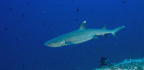 Our Fear of Sharks Is Tinged With Subconscious Guilt | Philip Hoare