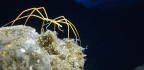 Sea Spiders Pump Blood With Their Guts, Not Their Hearts