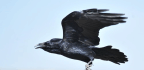 Ravens Surprise Scientists By Showing They Can Plan