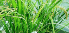 New 'Golden Rice' Offers 3 Micronutrients