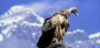 People In Nepal Used To Think Vultures Were Bad Luck. Not Anymore