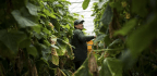 Foreign Farmworkers in Canada Fear Deportation if They Complain