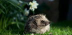 Ordinary People Are Doing Vital Wildlife Work. How? Counting Hedgehog Homes | Hugh Warwick