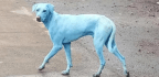 The Blue Dogs of Mumbai