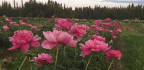 Global Warming Is Threatening Alaska's Prized Wedding Flower
