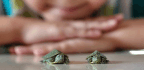 Why The Toxin Trouble With Tiny Turtles Continues