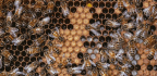 The Divisive Diet of Honeybees