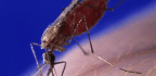 In A Case That Is 'Almost Impossible,' Girl Dies Of Malaria In Italy