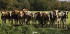 The Secret Logic of Cows