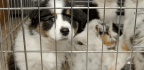 Pet-Store Puppies Linked To Campylobacter Outbreak In People