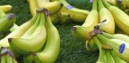 The World's Bananas Are Under Attack