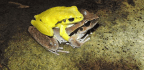 These Frogs Might Change Color to Avoid Confusion During Orgies