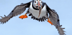 Puffins, Politics, and Joyful Doggedness in Maine