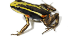 How Poison Frogs Keep From Poisoning Themselves
