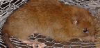 Giant Solomon Islands Rat Believed to Eat Coconuts Discovered