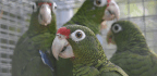 Keeping Endangered Parrots Safe in a Hurricane