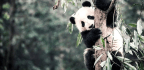 Fragmented Habitat Threatens Giant Pandas