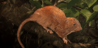Elusive, Unusually Large Tree-Dwelling Rodent Discovered in the Solomon Islands