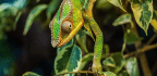 How a History of Two Pet Chameleons Made a Case for the Animal Soul