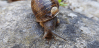 In Loving Memory of Jeremy, the One-in-a-Million Mutant Snail