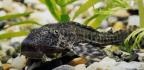 Invasive 'Devil Fish' Plague Mexico's Waters. Can't Beat 'Em? Eat 'Em