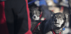 Iditarod Sled Dogs Test Positive For Banned Substance