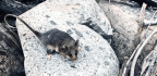 'Genetic Rescue' Brings Cute Marsupials Back From the Brink