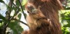 Scientists Identify a Third Orangutan Species