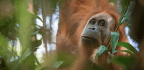 We May Have a New Cousin in This Orangutan Species—but It's in Big Trouble