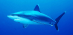 Why Some Sharks Are Like Blimps, and Others Are Like Airplanes