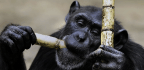 Just Like Humans, Chimpanzees Warn Others of Impending Danger