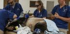 National Zoo Panda Tian Tian Gets Checkup For Weight Loss And Sore Shoulder