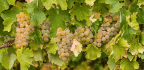 Affordability of Chilean White Wine Means Learning About It Won't Cost You a Lot