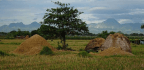Rice Fields and Carabaos