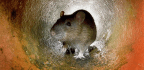The Genetic Divide Between NYC's Uptown And Downtown Rats