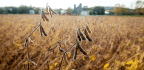 The Soybean Is King, Yet Remains Invisible