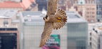 Peregrine Falcons Attack Like Missiles To Grab Prey Midair, Scientists Find