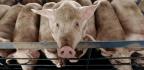 For the First Time, Antibiotic Use in Farm Animals Drops