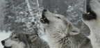 Why Do We Fear Wolves?