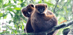 Lemurs Share Gut Bacteria When They Cuddle