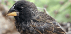New Bird Species Arises From Hybrids, as Scientists Watch