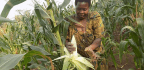 Drought-Tolerant Corn Offers Uganda's Farmers a Lifeline