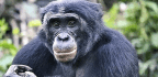 Bonobos Like Bullies More Than Helpers