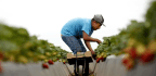 Who's Picking Your Food? A Record Number of Foreign Laborers
