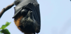 Australia's Heat Wave Fries Bats' Brains, Hundreds Found Dead